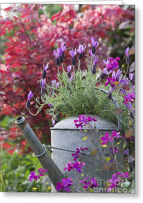 Watering Can Greeting Cards - French Lavender Greeting Card by Tim Gainey