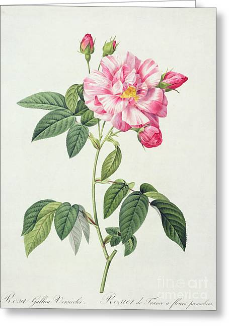 Striped Drawings Greeting Cards - French Rose Greeting Card by Pierre Joseph Redoute