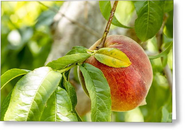 Locally Grown Greeting Cards - Fresh Peach Hanging in Orchard Greeting Card by Teri Virbickis
