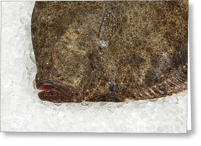 Aquatic Animal Greeting Cards - Fresh Turbot Scophthalmus Maximus Greeting Card by Gerard Lacz