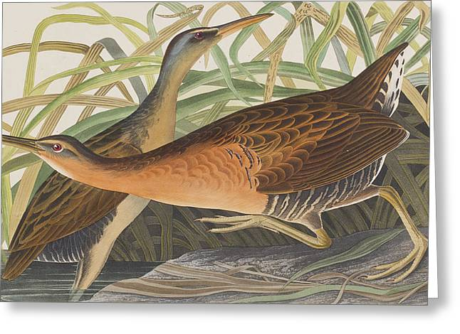 Fresh Green Drawings Greeting Cards - Fresh Water Marsh Hen Greeting Card by John James Audubon