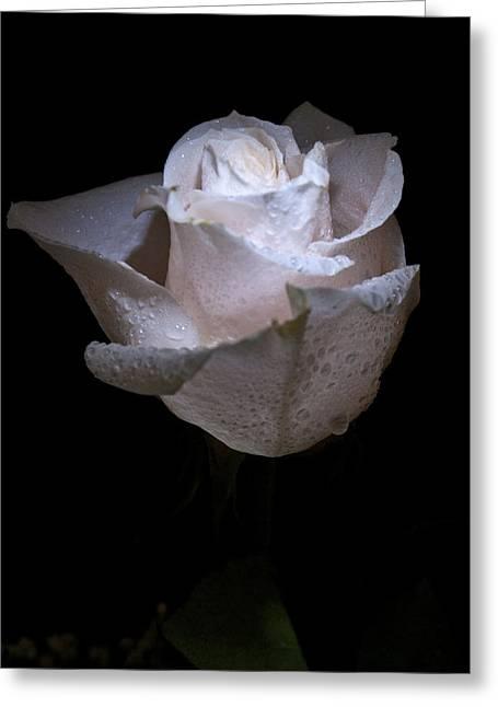 Merriment Greeting Cards - Fresh White Rose Greeting Card by Douglas Barnett