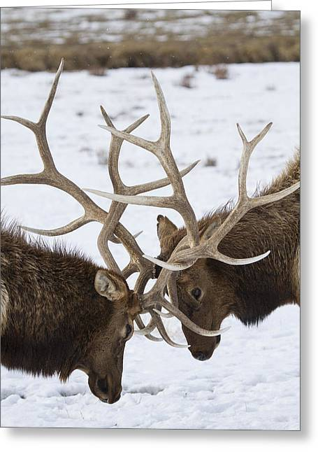 Wildlife Refuge. Greeting Cards - Friendly Conflict Greeting Card by Luca Diana