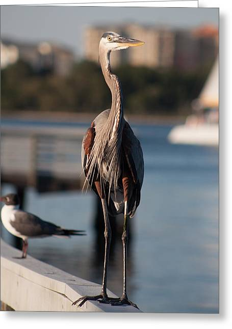 Beach Photography Greeting Cards - Friendly Heron Greeting Card by Debra Forand