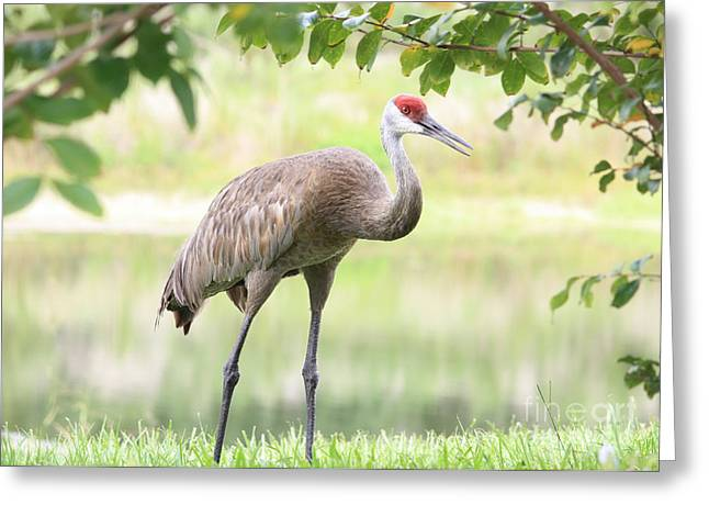 Sandhill Cranes Greeting Cards - Friendly Sandhill Greeting Card by Carol Groenen