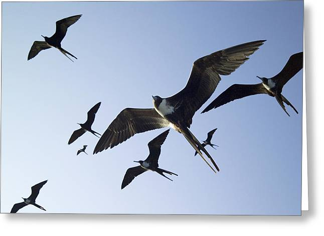 Seabirds Greeting Cards - Frigate Birds In Flight Greeting Card by Peter Scoones