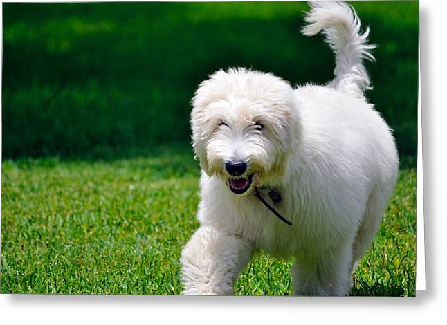 Puppies Photographs Greeting Cards - Frisky Golden Doodle Greeting Card by Kristina Deane