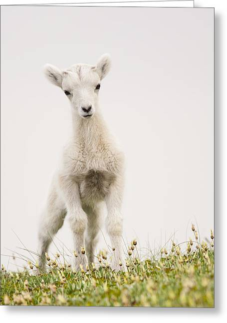 Gram Greeting Cards - Frisky Lamb Greeting Card by Tim Grams