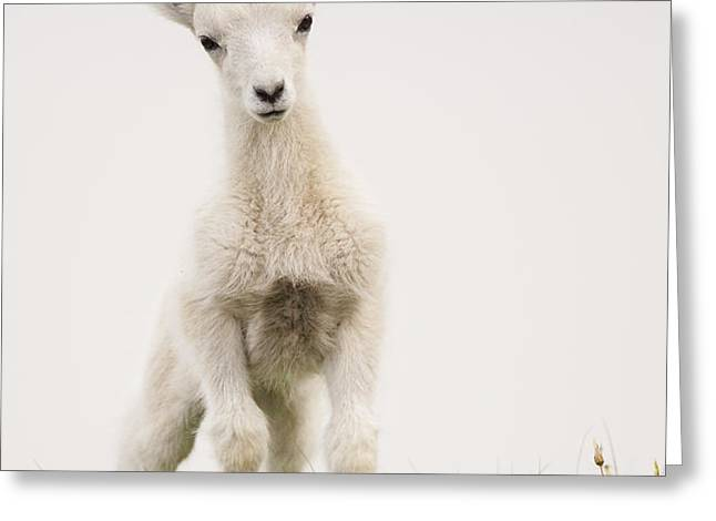Frisky Lamb Greeting Card by Tim Grams