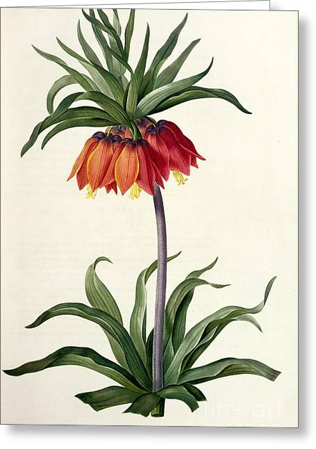 Flower Blooms Drawings Greeting Cards - Fritillaria Imperialis Greeting Card by Pierre Joseph Redoute