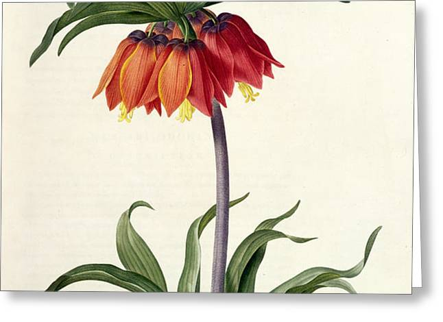 Fritillaria Imperialis Greeting Card by Pierre Joseph Redoute