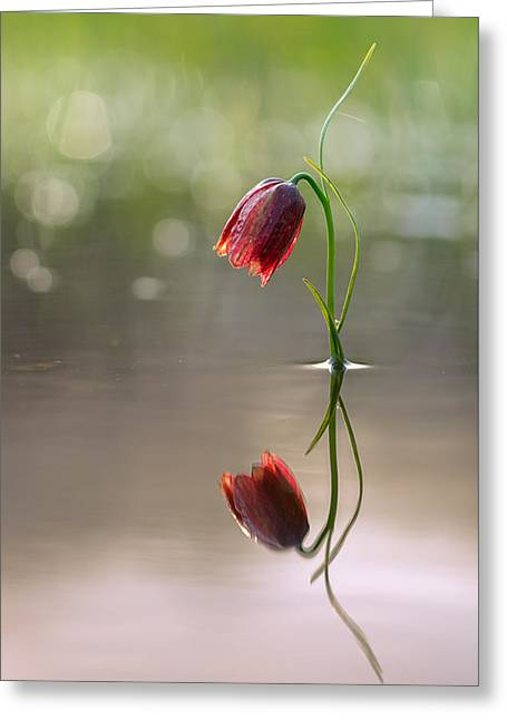Spring Bulbs Greeting Cards - Fritillary flower in water with reflection Greeting Card by Sergey Ryzhkov