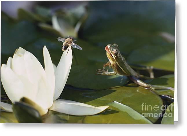 Frog Jumping At Prey Greeting Card by A. Cosmos Blank