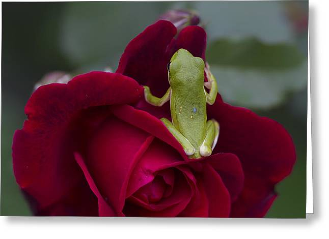 Frogs And Red Roses  Greeting Card by Kathy Clark