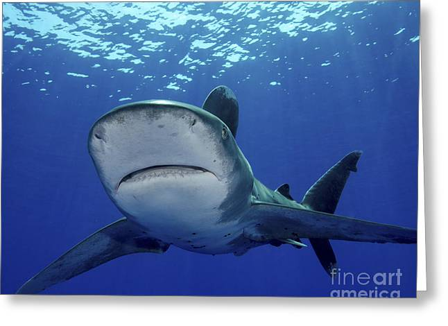 Undersea Photography Greeting Cards - Front View Of An Oceanic Whitetip Greeting Card by Brent Barnes