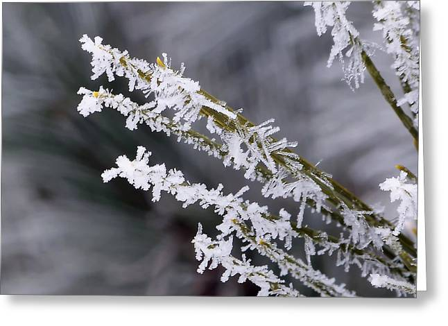 Pine Needles Greeting Cards - Frost Greeting Card by Lauren Radke
