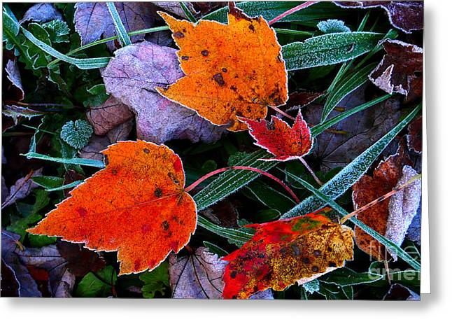 Allegheny Greeting Cards - Frost on Sugar Maple Leaves Greeting Card by Thomas R Fletcher