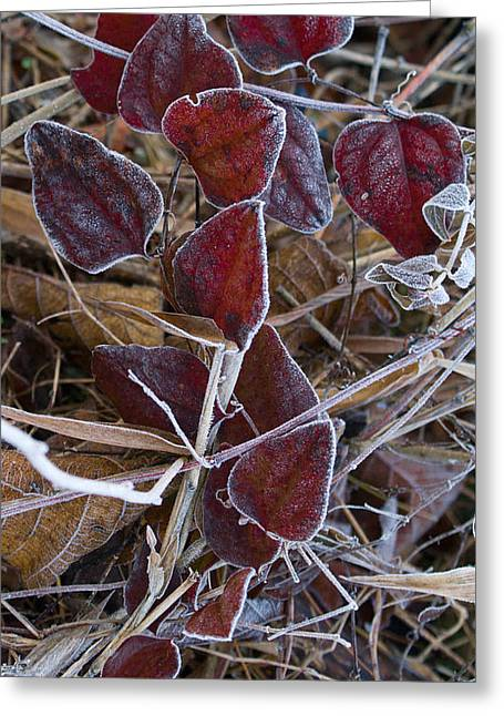 West Fork Greeting Cards - Frosted Red Green Briar Greeting Card by Douglas Barnett