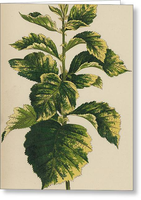 Frosted Thorn, Crataegus Prunifolia Variegata Greeting Card by English School