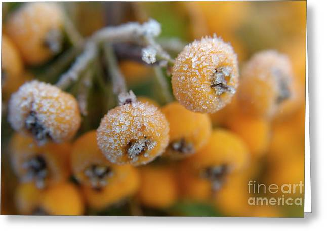 Sami Sarkis Greeting Cards - Frozen dew droplets on a yellow berried pyracantha Greeting Card by Sami Sarkis