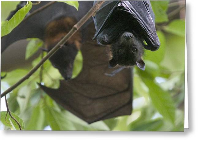 Roost Greeting Cards - Fruit Bats Roosting In A Tree Greeting Card by Randy Olson