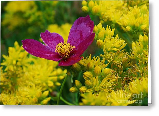 Power Plants Greeting Cards - Fuchsia Cosmos in Sedum Greeting Card by J L Zarek