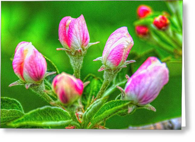 Fruit Tree Art Greeting Cards - Fuji Apple Blossom Buds Greeting Card by Roger Passman