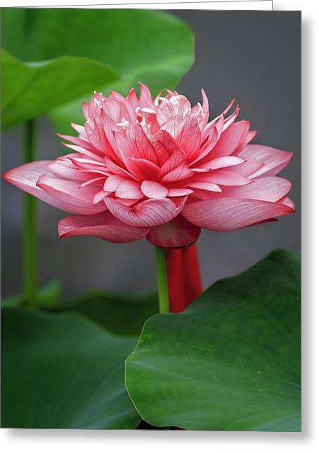 Lotus Full Bloom Greeting Cards - Full Bloom Lotus D2842 Greeting Card by Wes and Dotty Weber