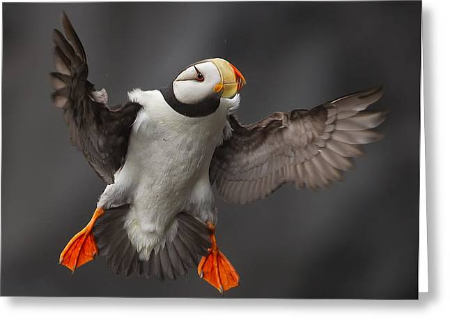 Puffins Greeting Cards - Full Flaps ! Greeting Card by Alfred Forns