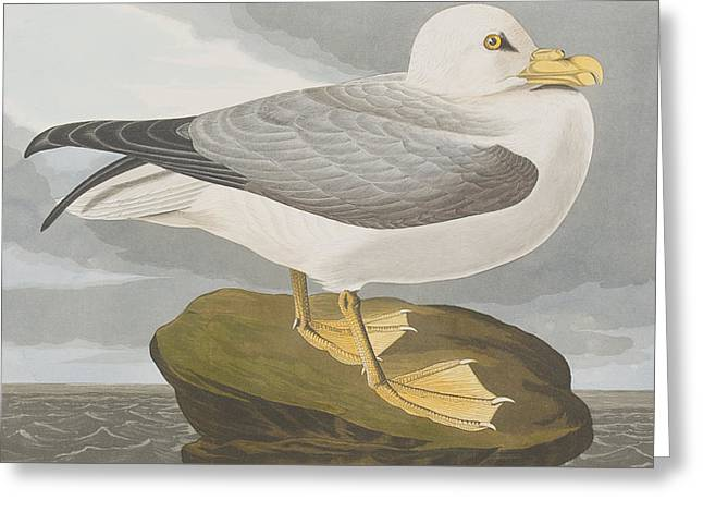 Black Top Drawings Greeting Cards - Fulmar Petrel Greeting Card by John James Audubon