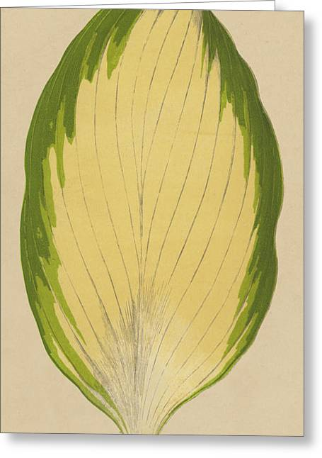 Funkia Sieboldiana Variegata Greeting Card by English School