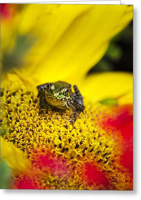 Funny Frog On A Sunflower Greeting Card by Christina Rollo