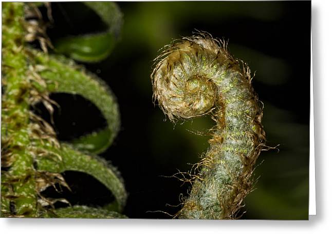 Furled Fern Greeting Card by Jean Noren