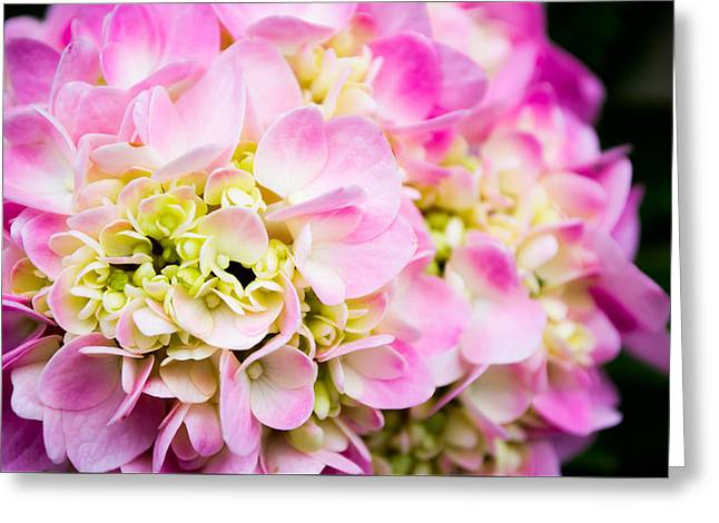 Pinks And Purple Petals Photographs Greeting Cards - Delicacies  Greeting Card by Shelby  Young