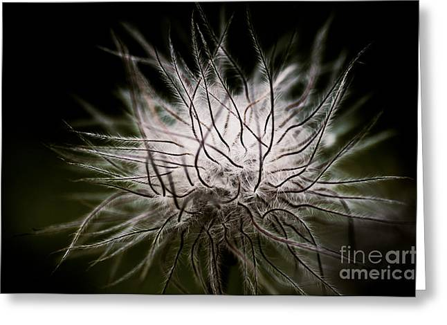Pasqueflower Greeting Cards - Fuzzy Flower Seedhead Greeting Card by Venetta Archer
