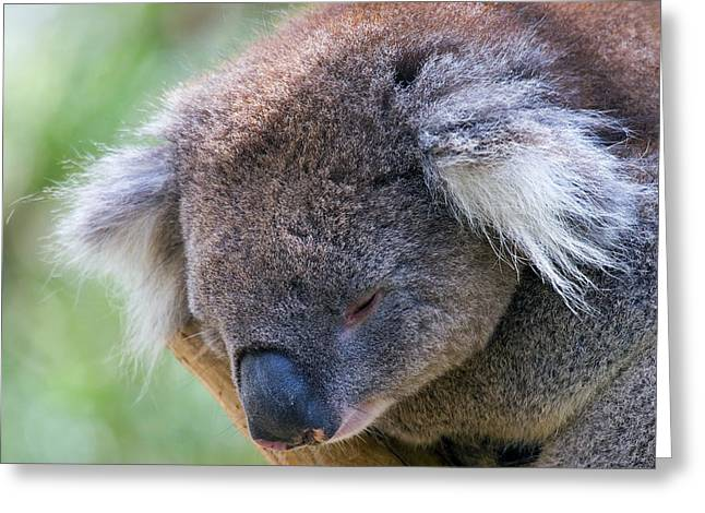 Koala Photographs Greeting Cards - Fuzzy Greeting Card by Mike  Dawson