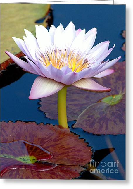 Water Lilly Greeting Cards - Ga1-55 Greeting Card by Glenn Abell