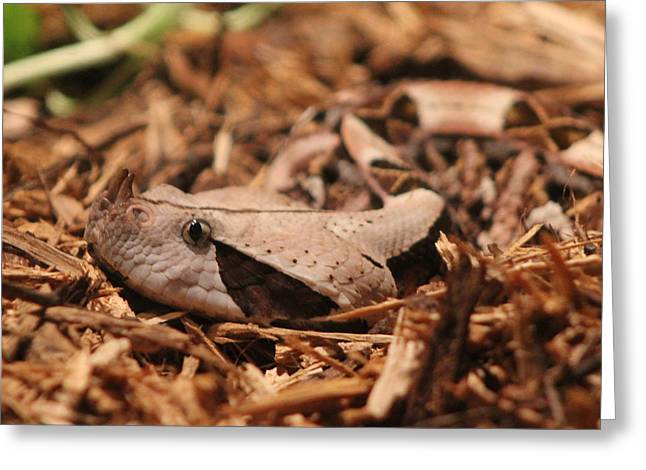 Blalock Greeting Cards - Gaboon Viper Greeting Card by Dana  Oliver