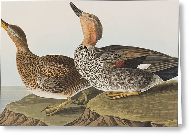 Birds Drawings Greeting Cards - Gadwall Duck Greeting Card by John James Audubon