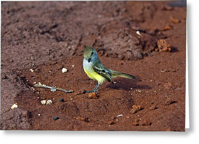 Sea Lions Greeting Cards - Galapagos flycatcher Greeting Card by MAK Imaging