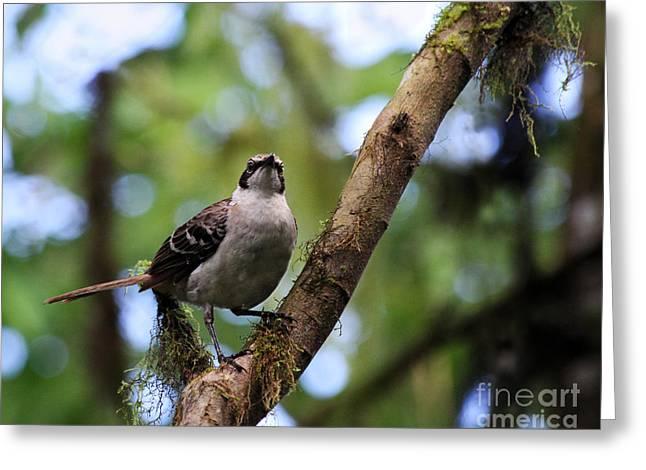 Santa Cruz Greeting Cards - Galapagos Mockingbird Greeting Card by Catherine Sherman