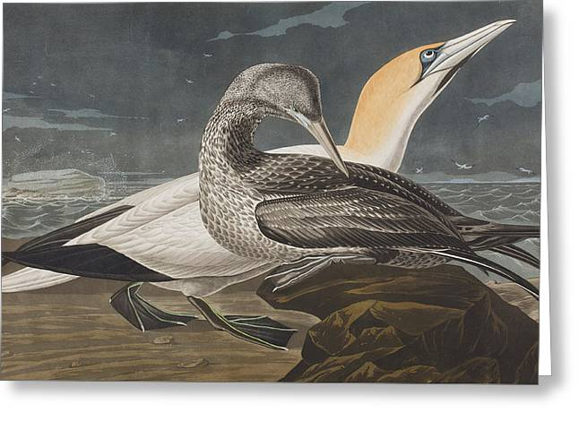 Gannet Greeting Cards - Gannet  Greeting Card by John James Audubon