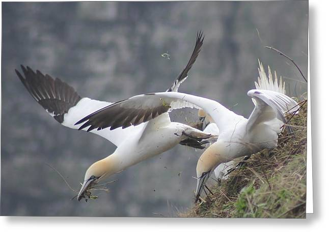 Pairs Greeting Cards - Gannets Gathering Grass 2 Greeting Card by Mo Barton