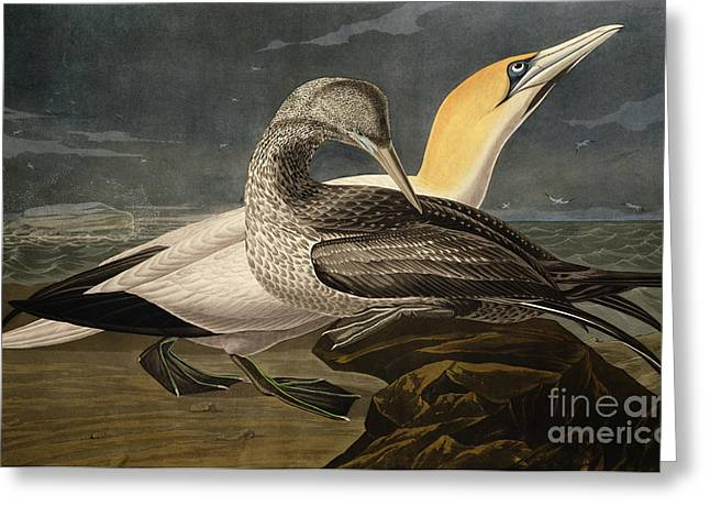 Gannet Greeting Cards - Gannets Greeting Card by John James Audubon