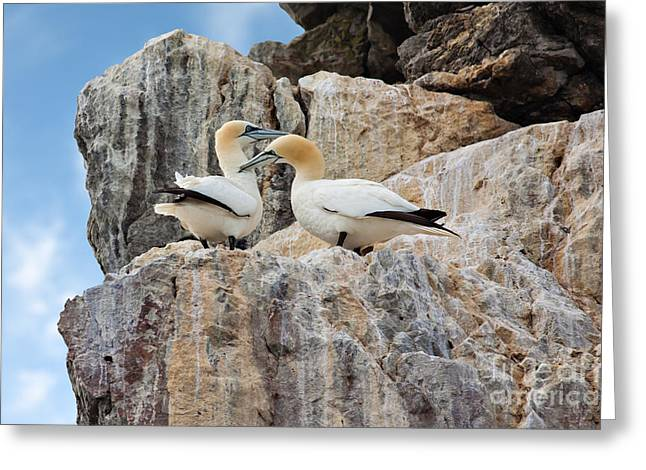 Morus Bassanus Greeting Cards - Gannets on cliffs Greeting Card by Gabriela Insuratelu