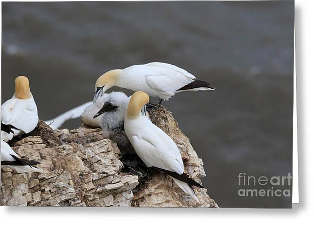 Gannet Greeting Cards - Gannets tend their chicks on a clifftop nest Greeting Card by Louise Heusinkveld