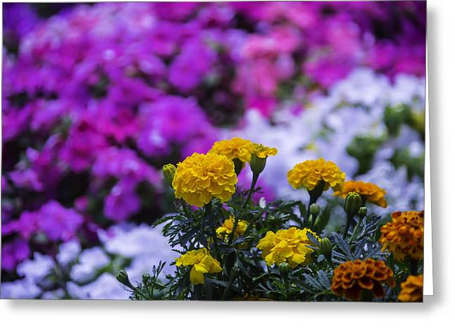 Marigold Greeting Cards - Garden Beauty Greeting Card by Garry Gay