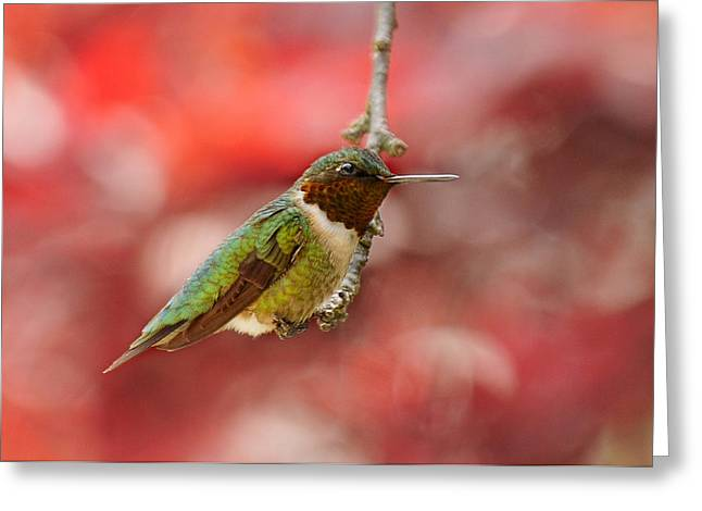 Archilochus Colubris Greeting Cards - Garden Gem Greeting Card by Lara Ellis
