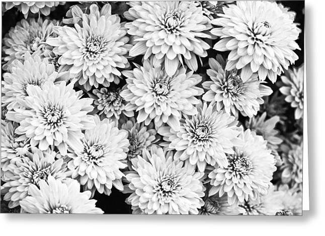 (c) 2010 Photographs Greeting Cards - Garden Mums Greeting Card by Ryan Kelly