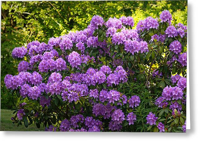 Rhododendrons Greeting Cards - Garden Rhododendron Greeting Card by Lutz Baar